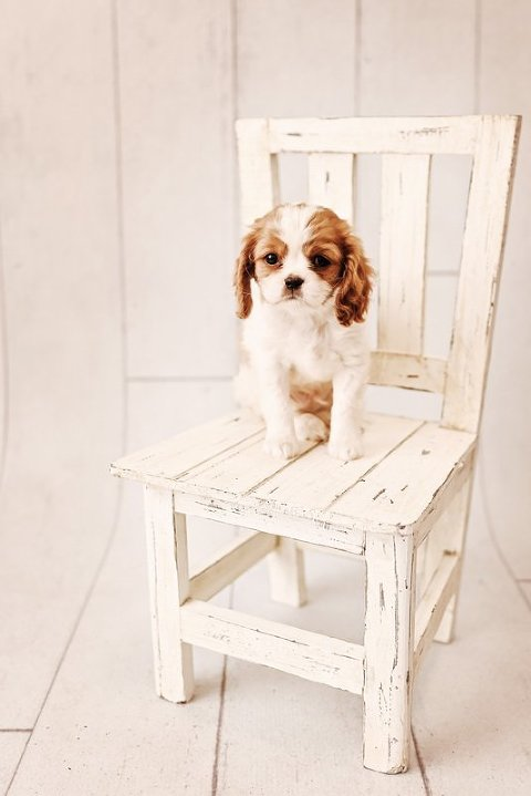 doggy on the chair nyc photographer pets